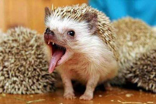 Hedgehog Pet Price >> Rich Ladies Are Published With A Hedgehog Social Life Besttopnews Com